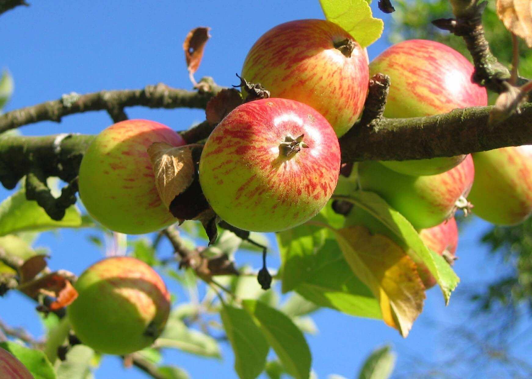 apples on a bircher tree   summer allergies   London Doctors Clinic